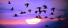 migració d'ocells0