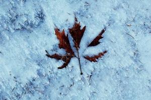 hivern cru. fulla a la neu